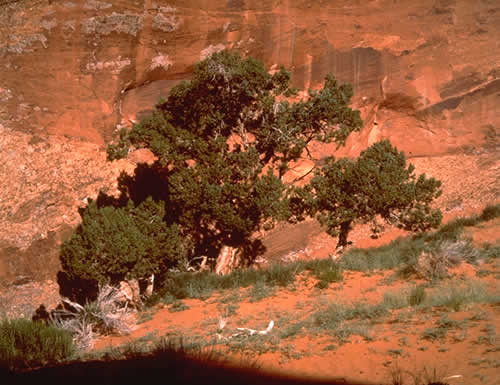 Trees In The Sand, Monument Valley