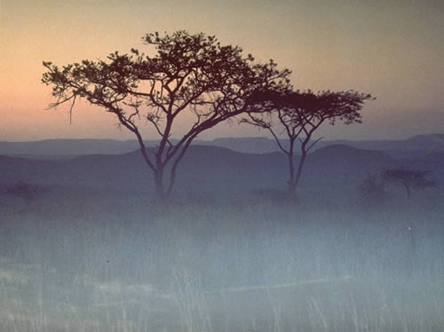 Acacia In The Mist